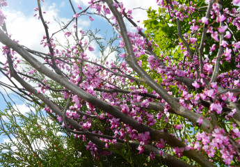 Columbus Garden Center - Spring - Redbud Trees in Bloom
